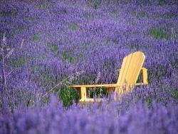 Sequim Lavender Farms